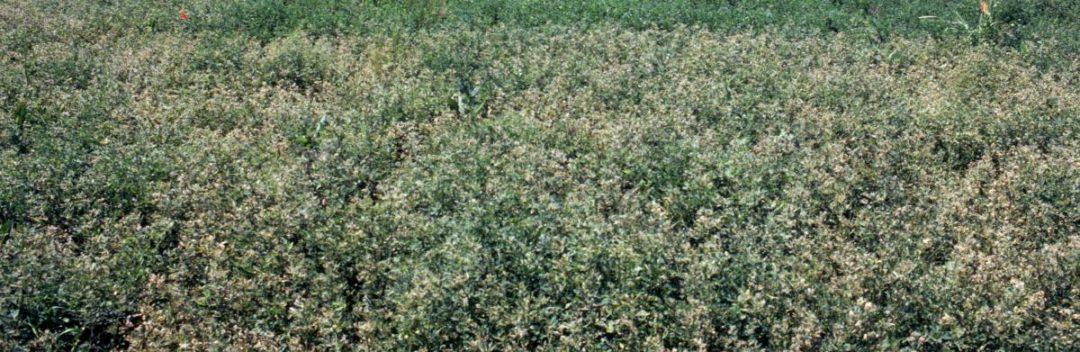 Alfalfa-Weevils-Pest-Forage-Damage.jpg