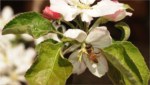 honeybee on rose