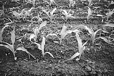 corn-spacing-twin-rows.jpg