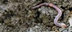 Earthworm2.png