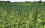 Giant-ragweed-3.jpg