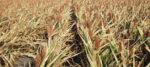Stressed-corn-1.jpg