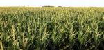 CTG_9733-12-inch-corn_Extended.jpg