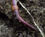 111130Earthworm-12-resize.jpg