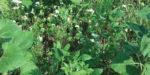 sunflowers_cowpeas_buckwheat_506.jpg