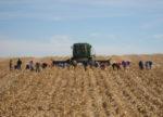 Down-Corn-from-Oct-18-Wind-073-copy.jpg