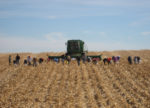 Down-Corn-from-Oct-18-Wind-073-copy.jpg