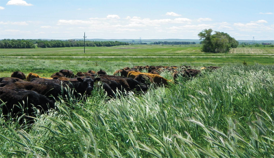 Livestock Cover Crops Take No Till Soils Profits To New
