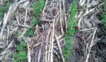 Beans-No-Tilled-in-Heavy-Stalks.jpg