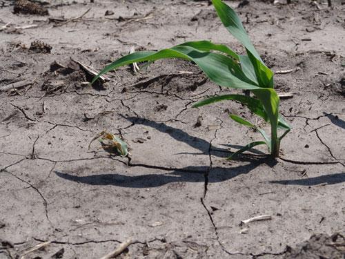 Damped off seedling vs. healthy