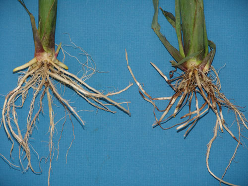 Root lesions and decay vs. healthy
