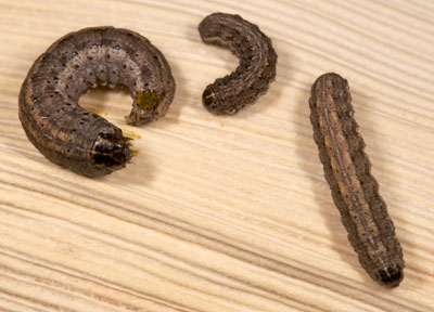 army cutworms 1