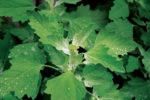 grown-lambsquarters.jpg