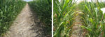corn-skip-row-composite.jpg