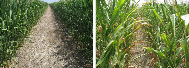 corn-skip-row-composite.jpg