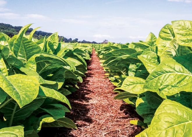 No-Tilling Tobacco Saves the Soil, Preserves Yields