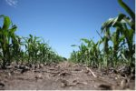 corn_nitrogen