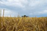 Wheat-residue.jpg