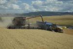 Wittman grain harvest