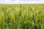 no-till wheat and cover crop