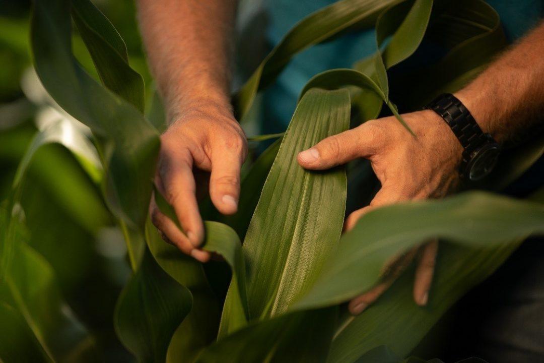 Golden Harvest corn hybrid