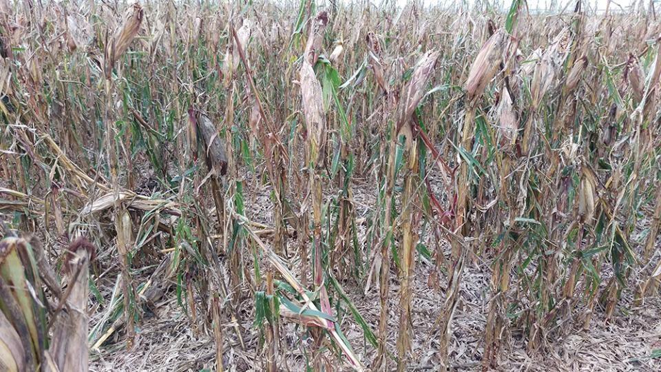 hail damaged corn