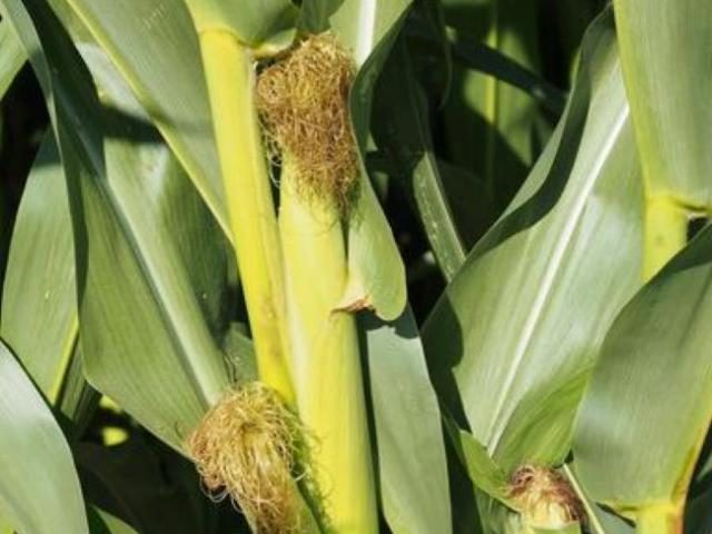 Immature corn