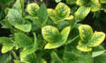 soybean potassium deficiency