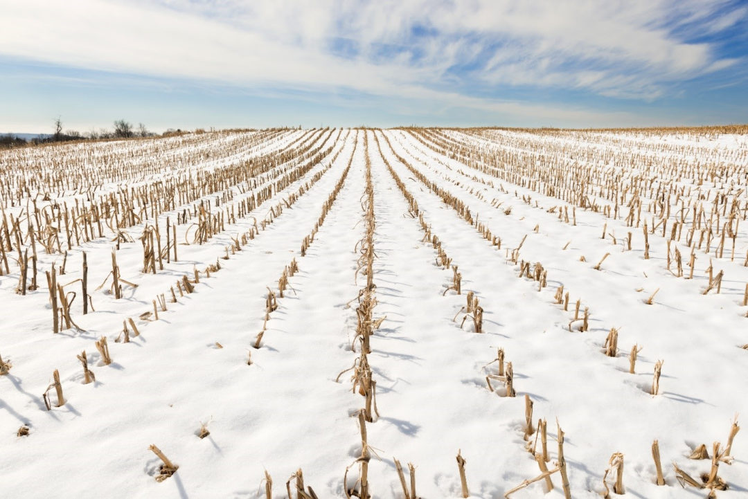 snow in corn field