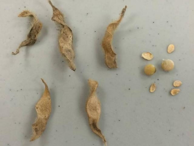 stink bug damaged soybeans