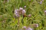 bee on phacelia