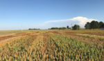 Sorghum field trials