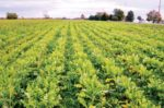 Interseeded-peas-and-radish