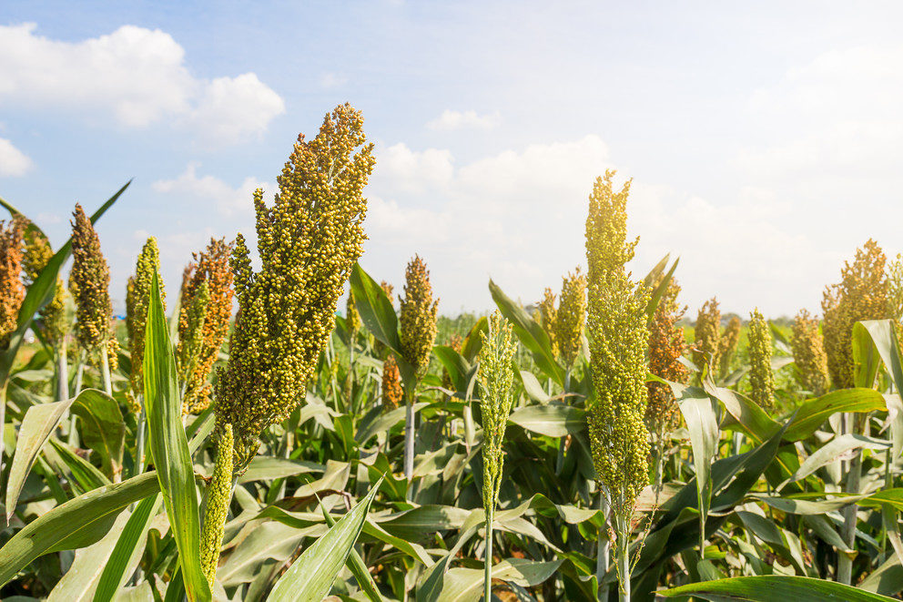 Two sorghum varieties