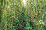 Loran-S-cover-crops.jpg