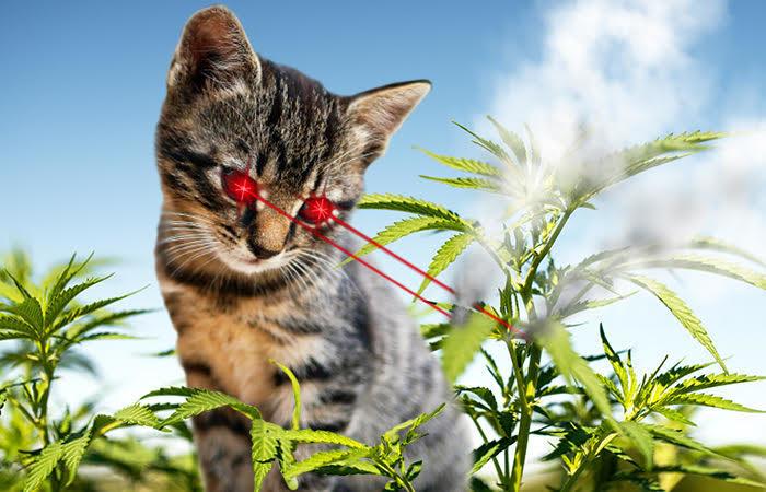 April Fools Laser Cat