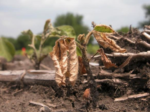 soybean Phytophthora