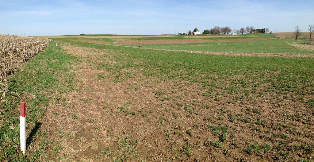 Alfalfa Alfa field with winter kill