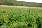 field of clover cover crop