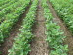 FMC Authority treated soybeans