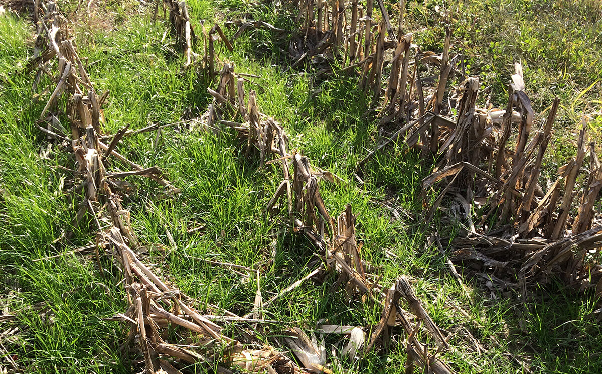 ryegrass growing in corn stubble