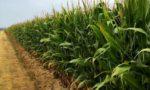 corn field in Illinois