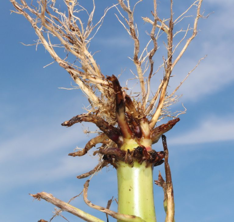 corn rootworm damage