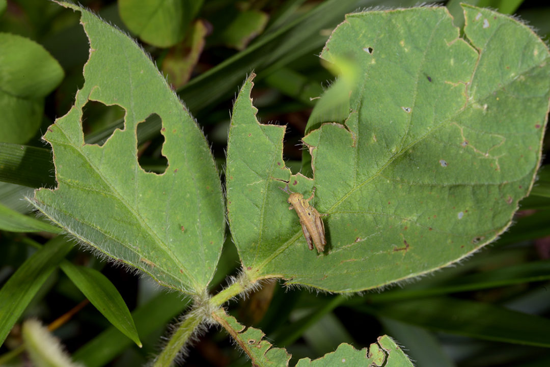 grasshopper on soybean