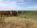 calves grazing on switchgrass
