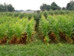 corn with cereal rye blevins plots