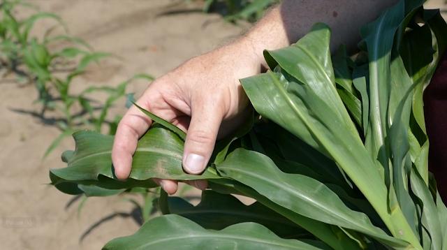 corn tissue sampling