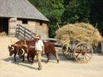 Mount Vernon oxen
