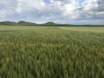 WestBred winter wheat