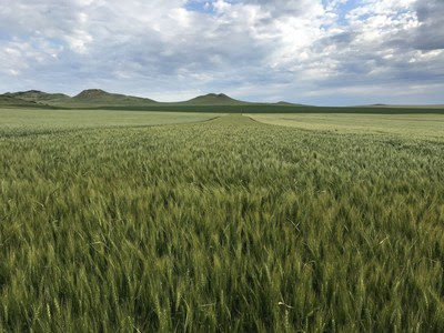 WestBred winter wheat
